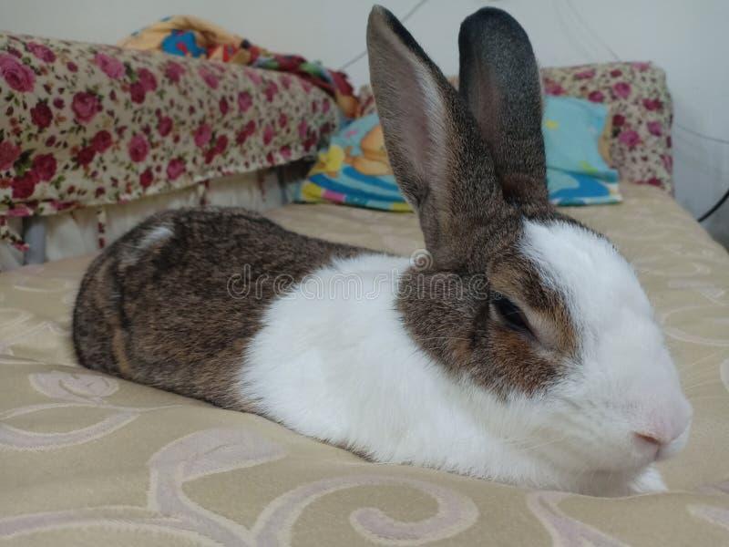 Kaninchenhäschenschlafen lizenzfreies stockbild