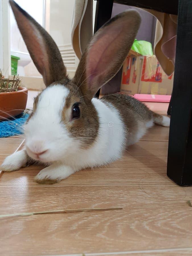 Kaninchenhäschensitzen stockfotografie