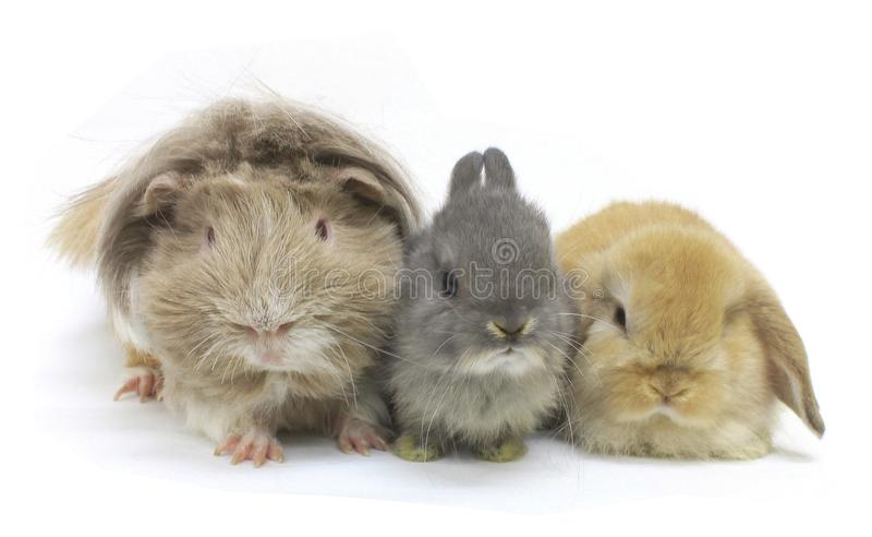 Kaninchenmeerschweinchenhaustiere lokalisiert lizenzfreie stockbilder