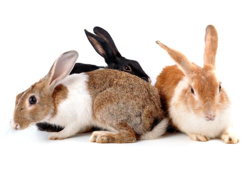 kaniner royaltyfria foton