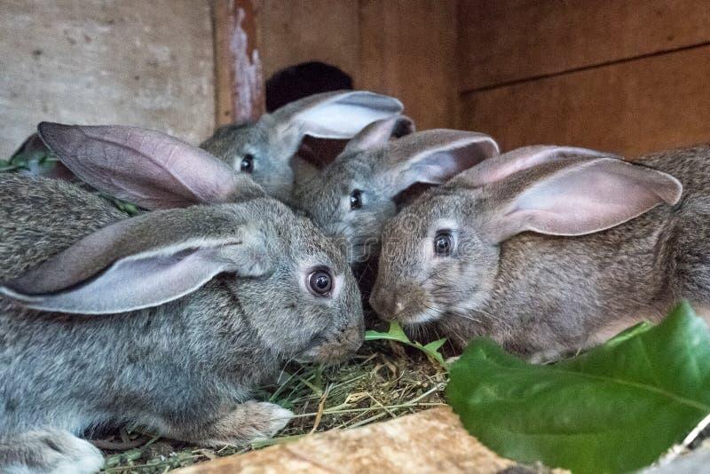 Kaniner i buren ?ter gr?s ?lsklings- mat royaltyfri bild