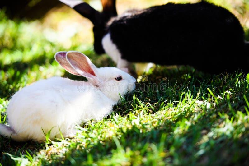 Kaniner i tr?dg?rden Fluffig kanin på grönt gräs, vårtid arkivbild