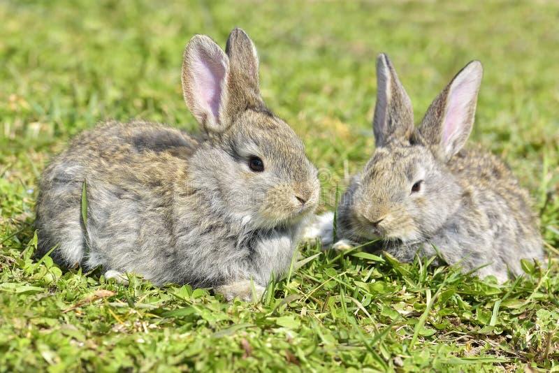 Kaniner som utomhus sitter i vår fotografering för bildbyråer