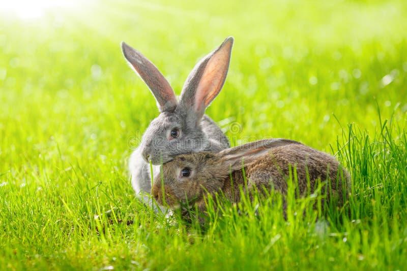 kaniner två fotografering för bildbyråer