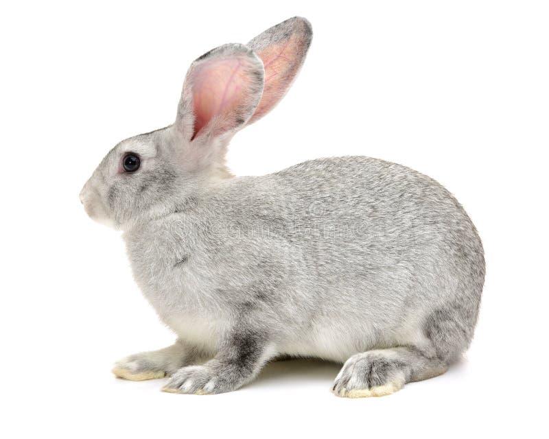 Kaninlantgårddjur royaltyfria foton