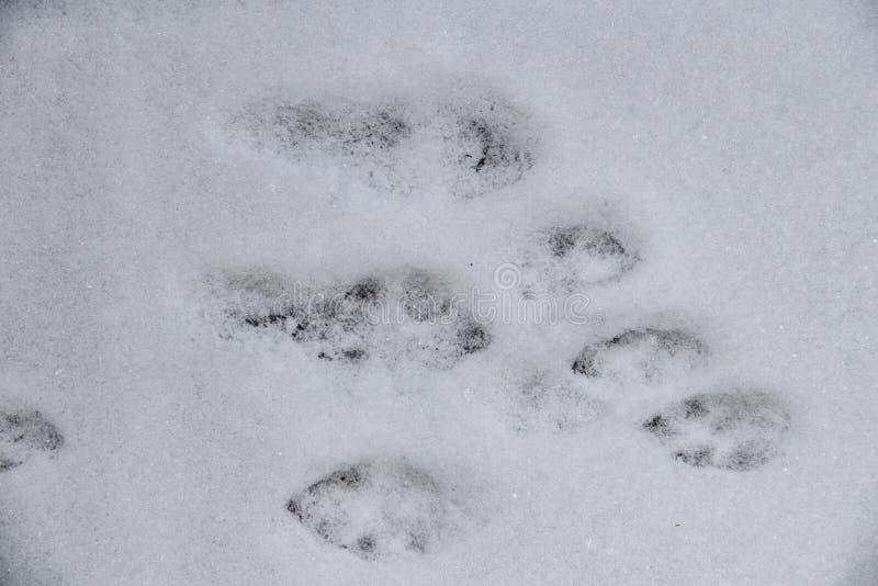 Kaninspår i den nytt stupade snön av en kanin som hoppade över området - överkant ner sikt fotografering för bildbyråer