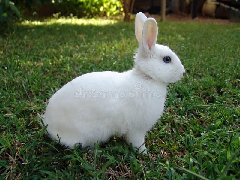 kaninwhite royaltyfri bild