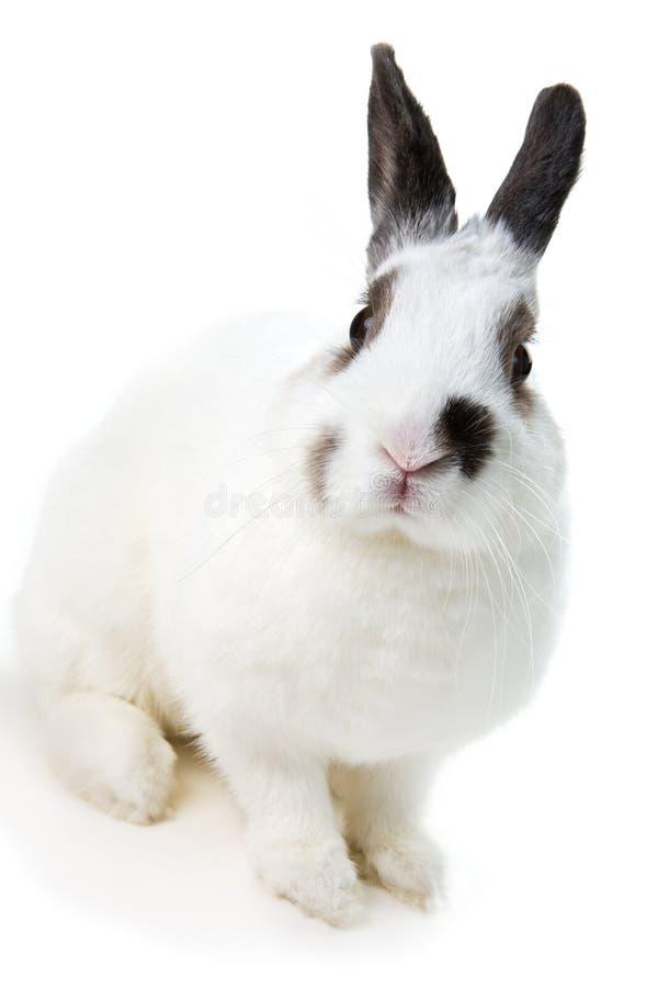 kaninwhite royaltyfria foton