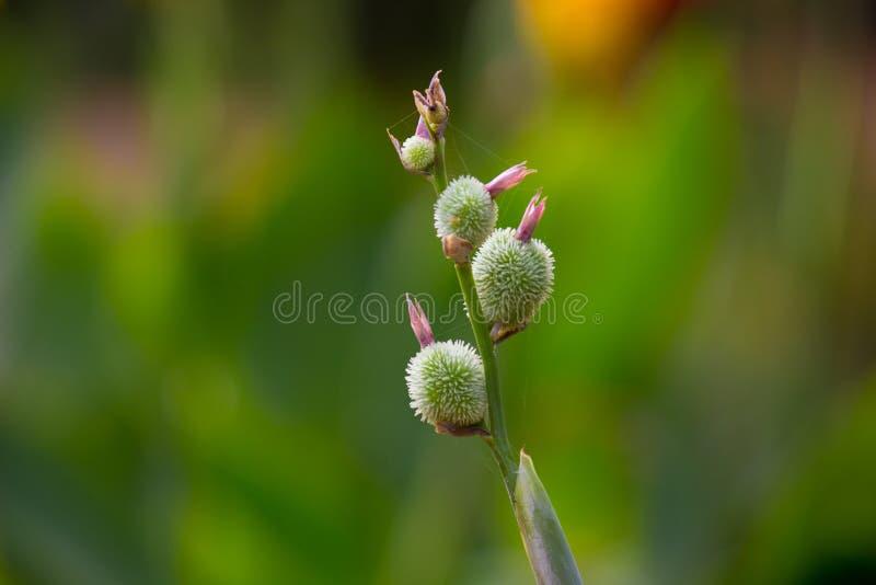 Kanna indica kwiat w miękkim zielonym rozmytym tle zdjęcia royalty free