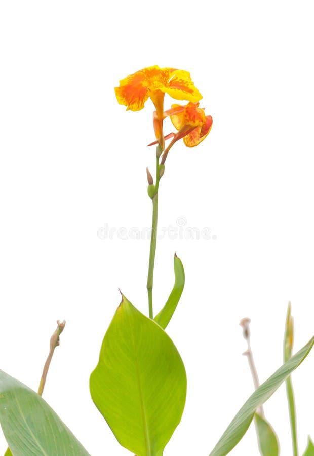 Kanna Indica kwiaty obraz stock