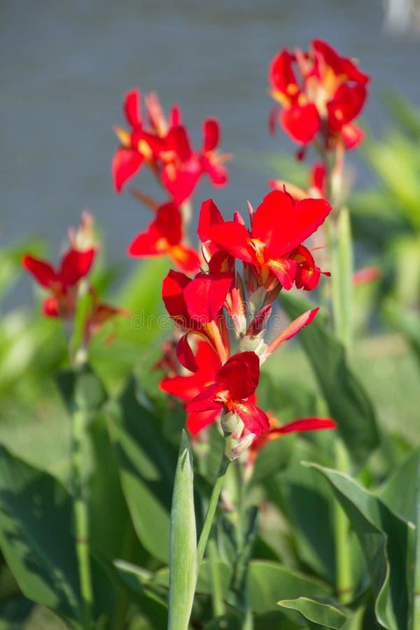 Kanna kwiat - indianina strzał zdjęcie stock