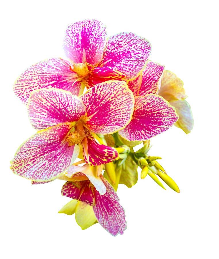Kanna kwiaty zdjęcia royalty free