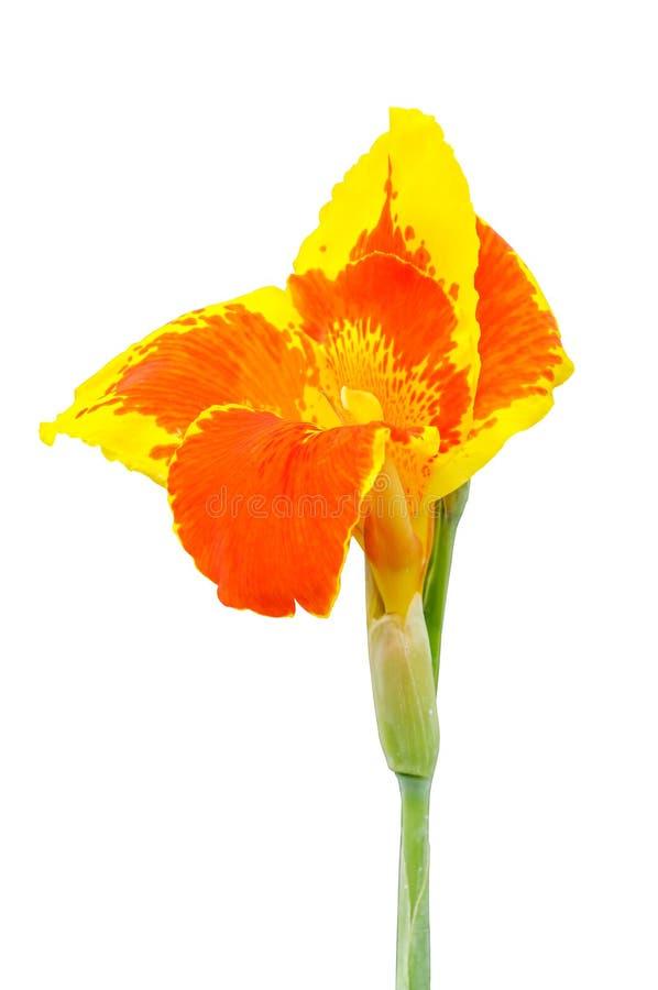 Kanna kwiaty odizolowywający fotografia stock