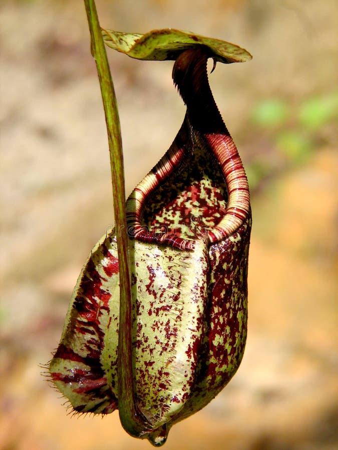 kannaväxt arkivbild