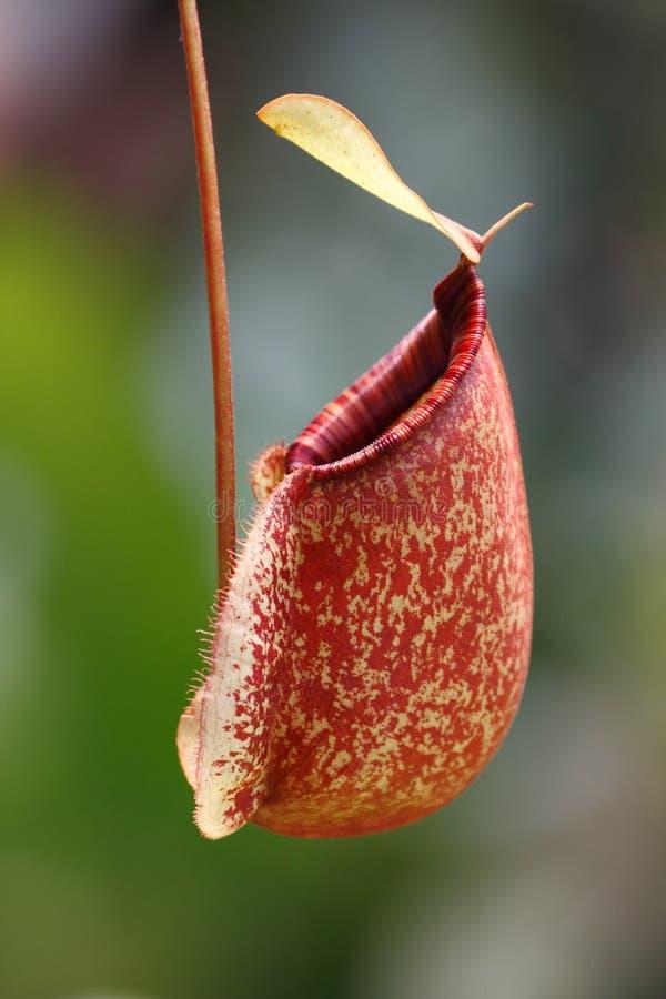Kannaväxt (Nepenthesampullariaen) royaltyfri bild