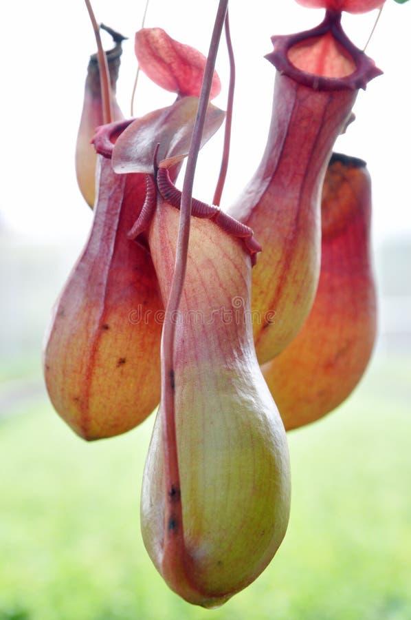 Kannenpflanze lizenzfreie stockbilder