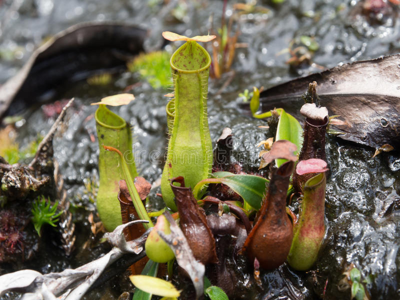 Kannenpflanze in Nationalpark Bako auf Borneo, Malaysia stockbild