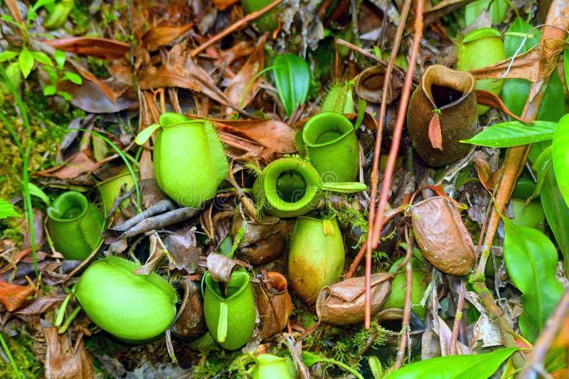 Kannenpflanzen, Borneo, Malaysia lizenzfreie stockfotos