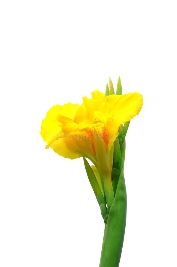 kanny kolor żółty fotografia stock