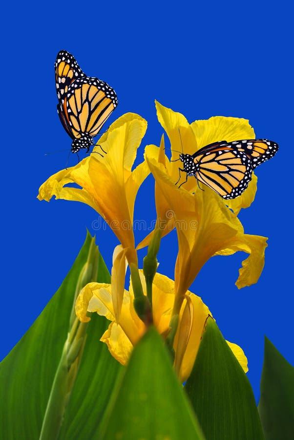 Kanny królewiątka Midas z dwa Monarchicznymi motylami zdjęcie royalty free