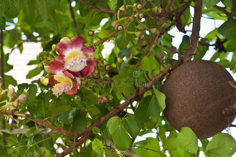 Kanonenkugelbaumblume. lizenzfreie stockfotos