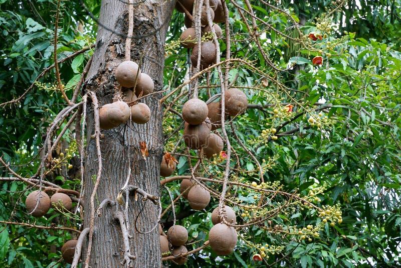 Kanonskogelboom in botanische Tuin in Thailand royalty-vrije stock fotografie