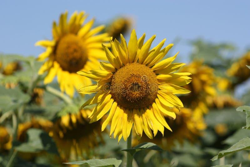 Kansas kraju słonecznika zbliżenie obrazy royalty free