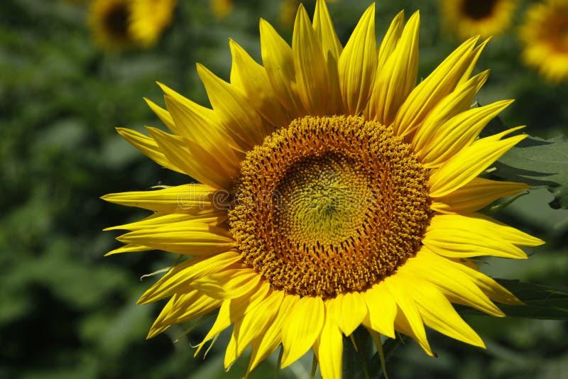 Kansas słonecznik obrazy stock