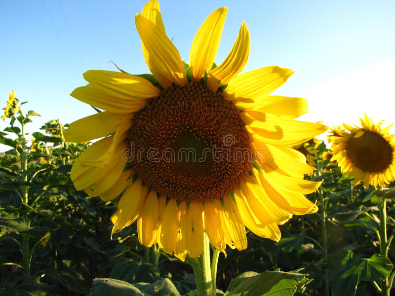 Kansas słonecznik zdjęcia stock