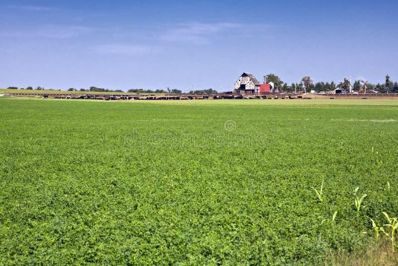 Kansas-Vieh-Bauernhof lizenzfreie stockfotos