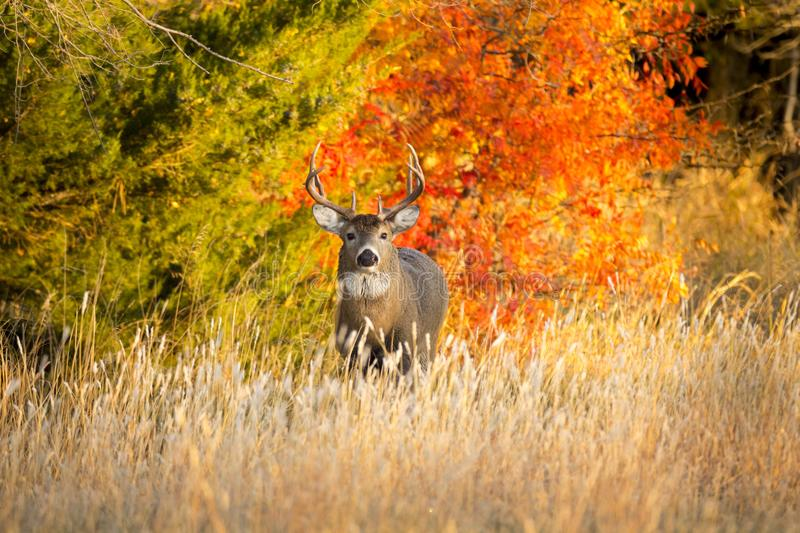Kansas Whitetail Buck on a warm Autumn morning sunrise. This Whitetail Buck was searching for doe along this very colorful tree line at sunrise on this late stock photography