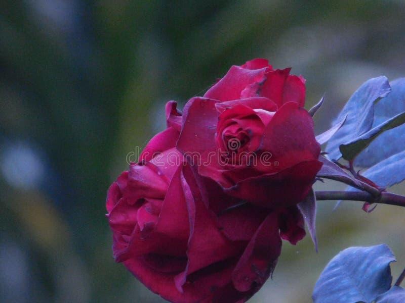 Kanske mest härliga blomman för thesteg den i natur royaltyfri foto