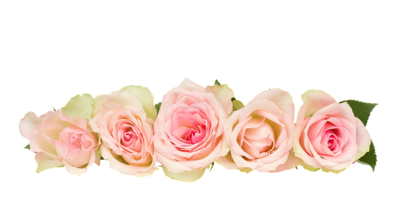 Kant av rosa ro royaltyfri bild
