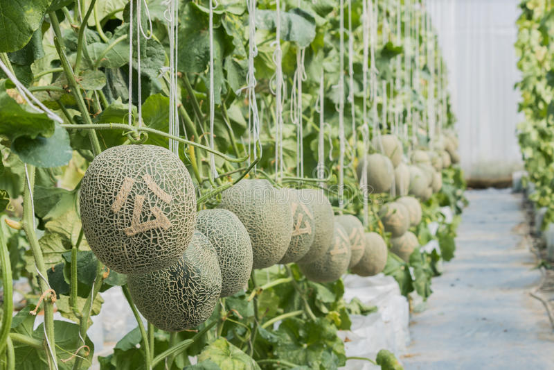 Kantaloep Verse meloen op boom en Gesneden Chinees stock foto's