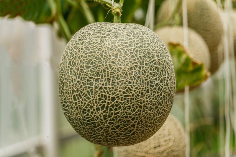 Kantaloep Verse meloen op boom Selectieve nadruk stock afbeeldingen