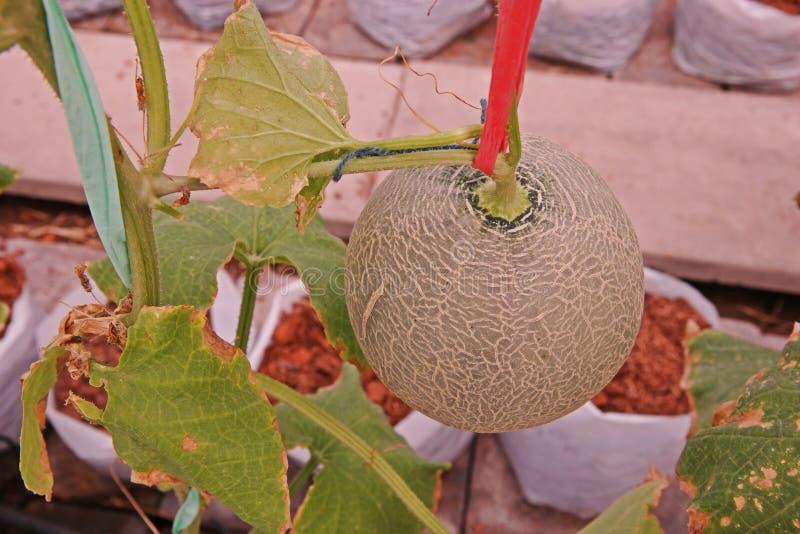 Kantalup lub muskmelon, owocowa Cucurbitaceae rodzina zdjęcie royalty free