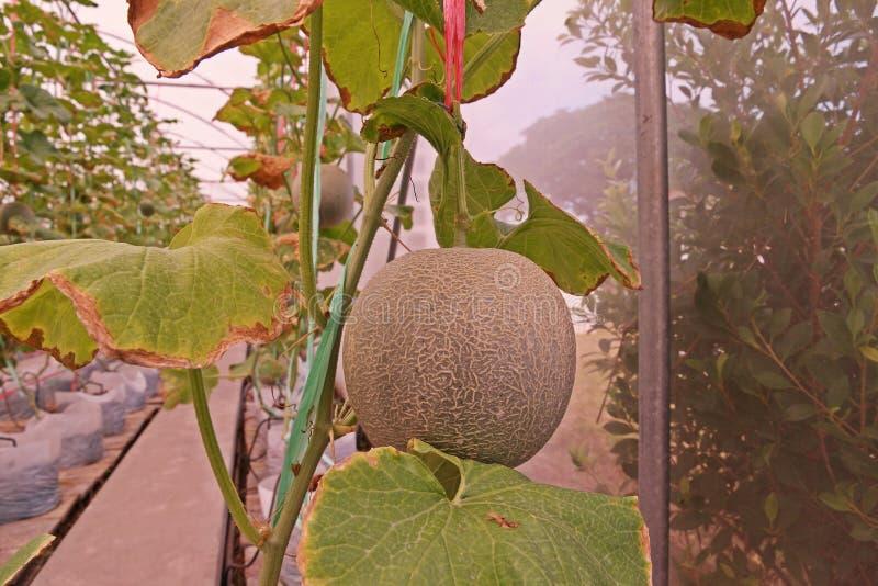 Kantalup lub muskmelon, owocowa Cucurbitaceae rodzina obrazy stock