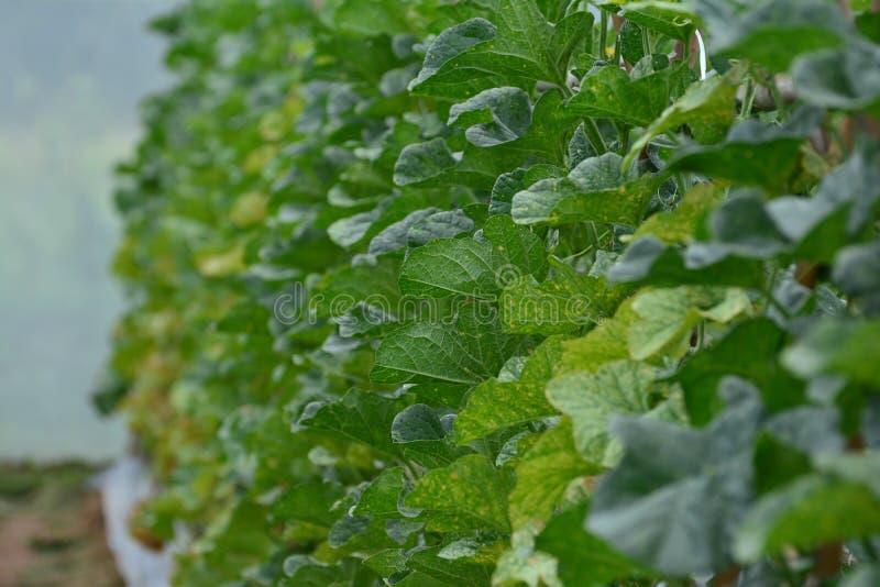 Kantalupa flancowanie w szklarnianym pestycydu osadzie uwalnia zdjęcie royalty free