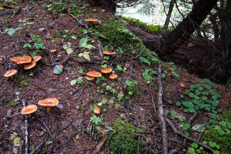 Kantarellen plocka svamp i bergskog royaltyfri foto