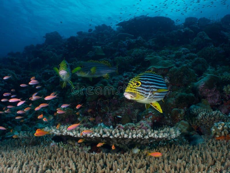 Kantfisk arkivfoto