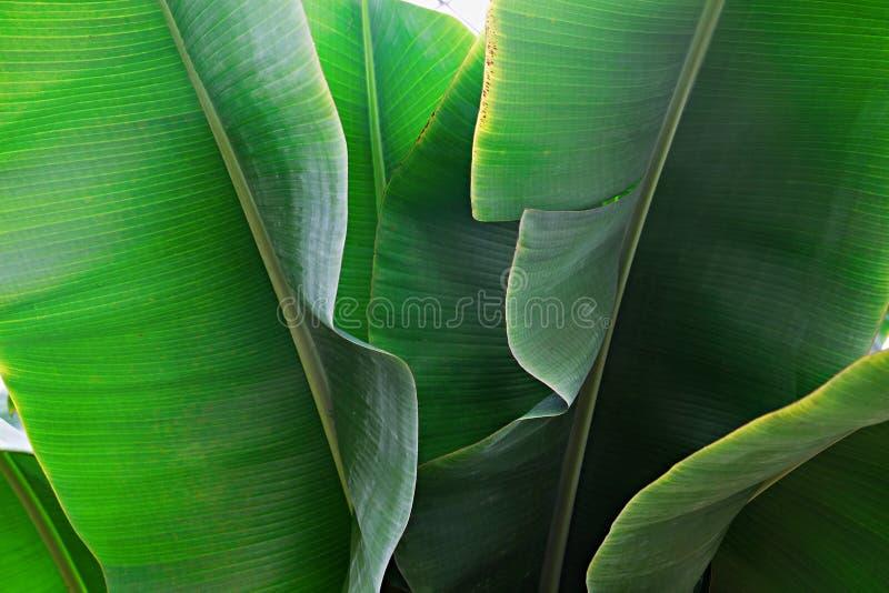 Kantjusterad bild f?r slut upp av bananpalmbladet med den synliga texturstrukturen Gr?n naturbegreppsbakgrund arkivbilder
