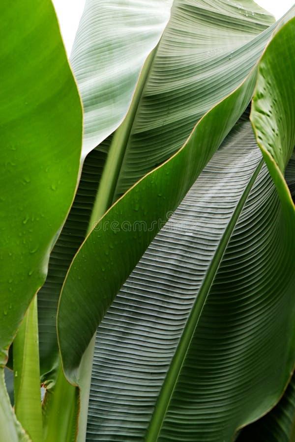 Kantjusterad bild f?r slut upp av bananpalmbladet med den synliga texturstrukturen Gr?n naturbegreppsbakgrund arkivbild