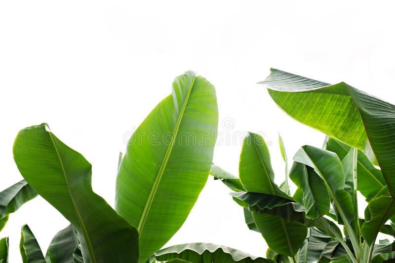 Kantjusterad bild f?r slut upp av bananpalmbladet med den synliga texturstrukturen Gr?n naturbegreppsbakgrund arkivfoto
