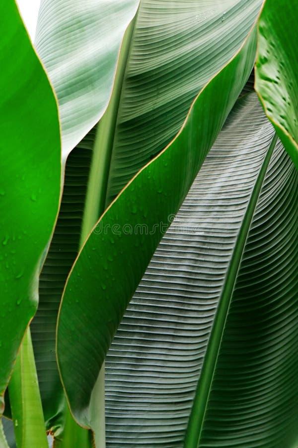 Kantjusterad bild f?r slut upp av bananpalmbladet med den synliga texturstrukturen Gr?n naturbegreppsbakgrund royaltyfria foton
