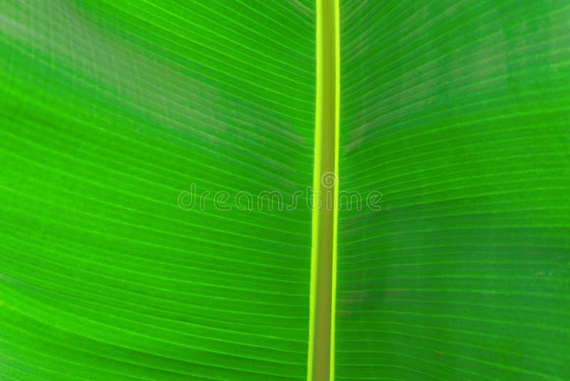 Kantjusterad bild f?r slut upp av bananpalmbladet med den synliga texturstrukturen Gr?n naturbegreppsbakgrund arkivfoton