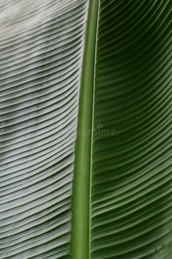 Kantjusterad bild f?r slut upp av bananpalmbladet med den synliga texturstrukturen Gr?n naturbegreppsbakgrund royaltyfria bilder
