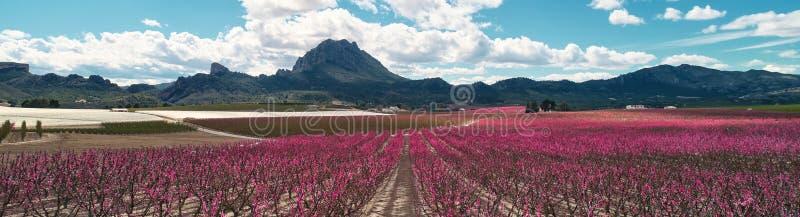 Kantjusterad panorama- bild som blomstrar fruktträd i Cieza, Spanien arkivfoto