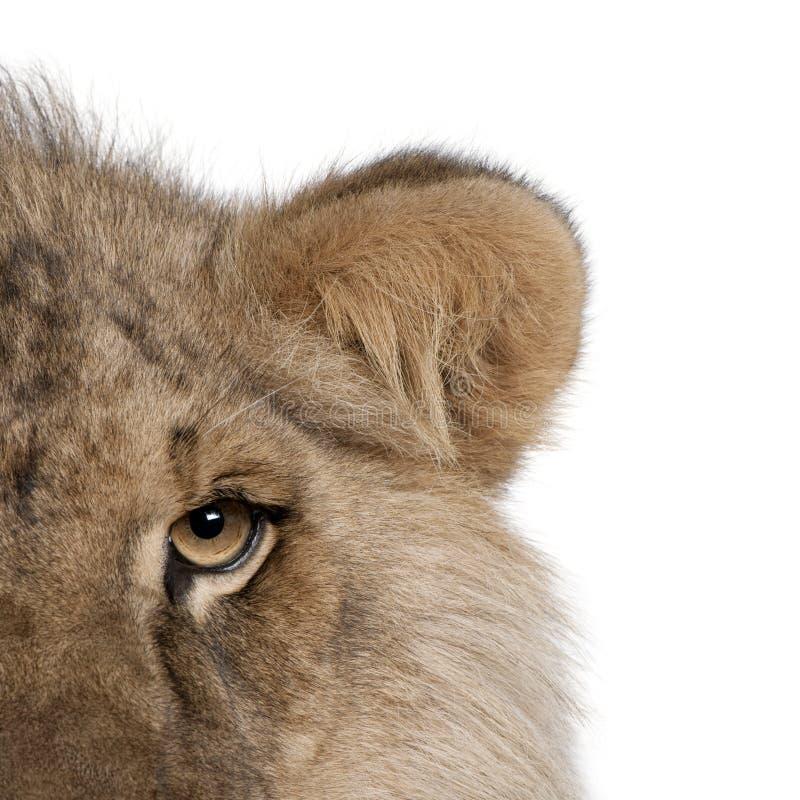 Kantjusterad sikt av lejonet, Panthera leo, 9 gamla månader arkivfoto