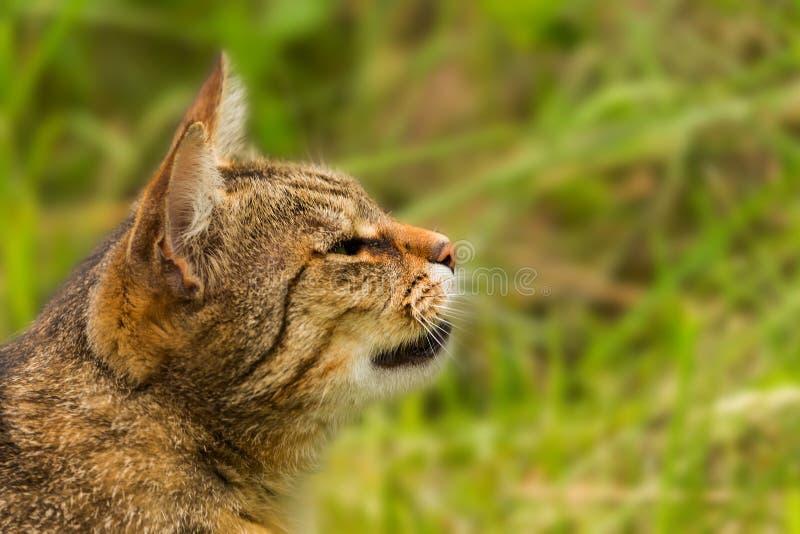 Kantjusterat skott av en brun katt Katt som ser till sidan Kattnärbild, grön suddig bakgrund arkivfoto