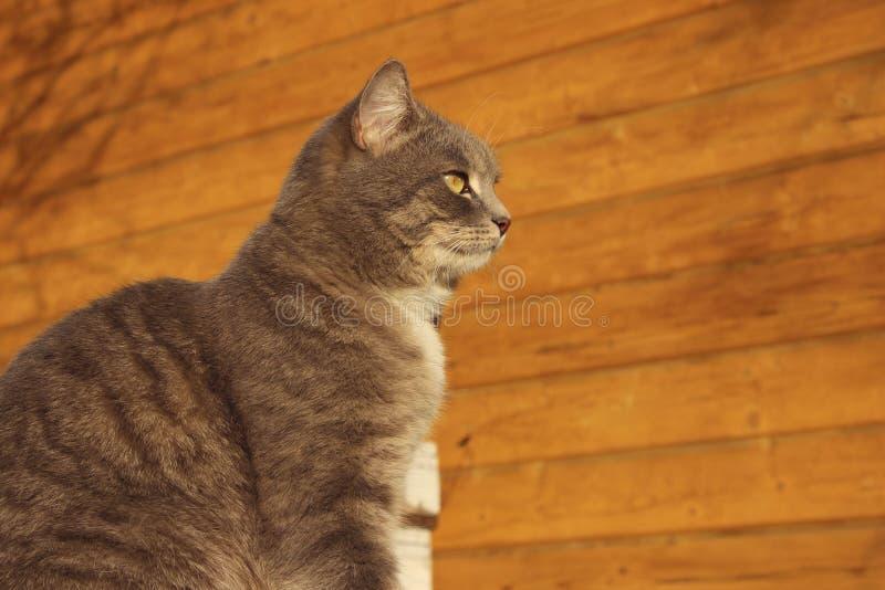Kantjusterat skott av en Cat Sitting Over Wooden Background Strimmig kattkatt utomhus royaltyfria bilder